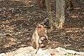 Bonnet Macaque (Female) 02.jpg