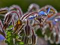 Borago officinalis-IMG 8919 1.jpg
