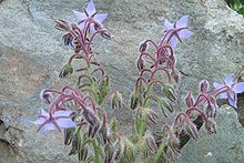 Borago officinalis (back).jpg
