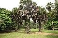 Borassius aethiopum 11.jpg