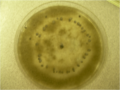 Botrytis plate.png