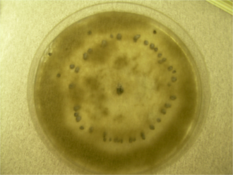 Botrytis cinerea - Botrytis cinerea growing on a plate with a ring of visible sclerotia (dark brown balls)