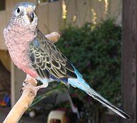Bourkes Parrot (Neopsephotus bourkii)9.jpg
