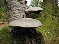 Bracket fungi, Lower Hooksburry Wood - geograph.org.uk - 1457585.jpg