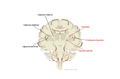 Brain human coronal section tags.png