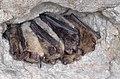 Brandt's bat (Myotis brandtii).jpg