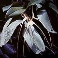 Brassia caudata .jpg