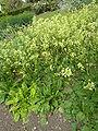 Brassica nigra 'Black Mustard' (Cruciferae) plant.JPG
