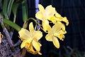 Brassolaeliocattleya Love Sound Dogashima 0zz.jpg