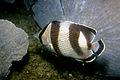 Brazilian Banded Butterflyfish (287303614).jpg