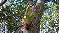 Bromélia na árvore-Ba.jpg
