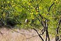Brown-crested flycatcher (40776451753).jpg