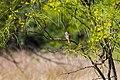 Brown-crested flycatcher (47690183552).jpg