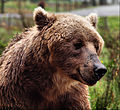 Brown Bear Washington.jpg