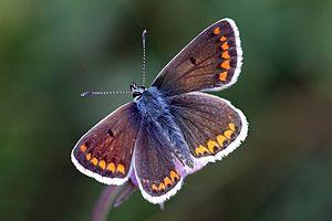 Aricia agestis - Female
