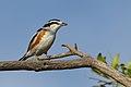 Brubru, Nilaus afer, at Marakele National Park, Limpopo, South Africa (39838185313).jpg