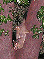 Brush-tailed Possum and young, Sydney.jpg