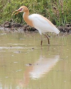 Bubulcus ibis coromandus eating.JPG