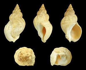 Buccinum undatum - A shell of B. undatum