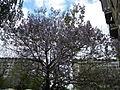 Bucuresti, Romania. Copacul Violet.JPG