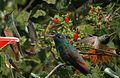 Buff-bellied Hummingbird From The Crossley ID Guide Eastern Birds.jpg
