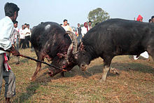 Buffalo fight.jpg