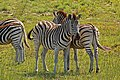 Burchell's zebra (Equus quagga burchellii) females head to tail.jpg