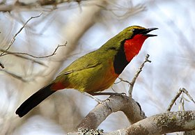 Bush-Shrike Gorgeous 2015 10 18 0107.jpg