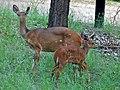 Bushbucks (Tragelaphus scriptus) (6045317422).jpg