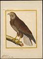 Buteo vulgaris - 1700-1880 - Print - Iconographia Zoologica - Special Collections University of Amsterdam - UBA01 IZ18200027.tif