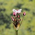 Butomus umbellatus-IMG 4694.jpg