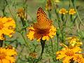 Butterfly in Uttarakhand, India (3).JPG
