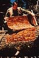 C.1969. Bark beetle galleries. (36362326983).jpg