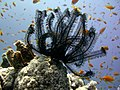 CIMG2597 Feather star, Dahab (2684564521).jpg