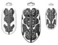 COLE Carabidae Neocicindela elytra 2.png