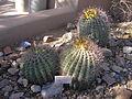 Cacti barrel.JPG