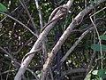 Cadaba fruticosa (11543338084).jpg