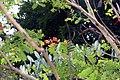 Caesalpinia pulcherrima 23zz.jpg