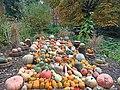 Calabazas cultivadas en el Real Jardín Botánico de Madrid.jpg