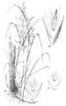 Calamagrostis canadensis var. langsdorffii (as C. canadensis scabra) HC-1950.png