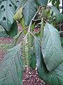 Calatola columbiana (14216331560).jpg