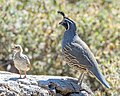 California Quail (m) with chick (45552837531).jpg