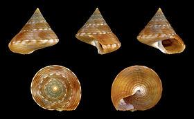 Calliostoma zizyphinum f. laevigata 01.JPG