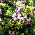 Calluna vulgaris10.jpg