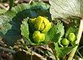 Caltha palustris kz06.jpg