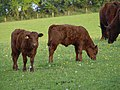 Calves near Occombe - geograph.org.uk - 804594.jpg