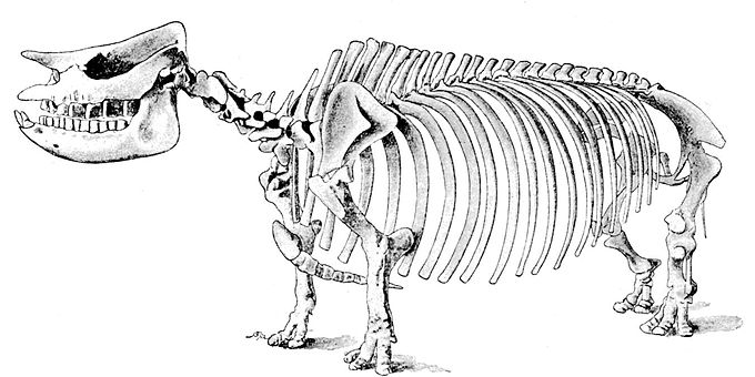Cambridge Natural History Mammalia Fig 135.jpg