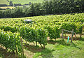 Camel Valley Vineyard.jpg
