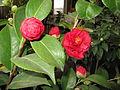 Camellia japonica Common Camellia კამელია (4).JPG