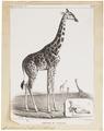 Camelopardalis giraffa - 1700-1880 - Print - Iconographia Zoologica - Special Collections University of Amsterdam - UBA01 IZ21600133.tif